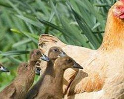 Tavuğun Ördek Yavruları Oldu