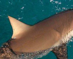 Marmara Denizi'nde 5 Köpekbalığı Yakalandı
