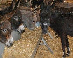 Türkiye'nin ilk eşek sütü üretim çiftliği
