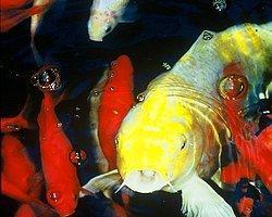 Şanslı Balık