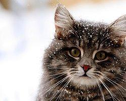 Kedilerde Görülen Bulaşıcı Hastalıklar