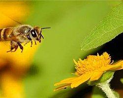 Arıların Ölümü Neyin Habercisi?