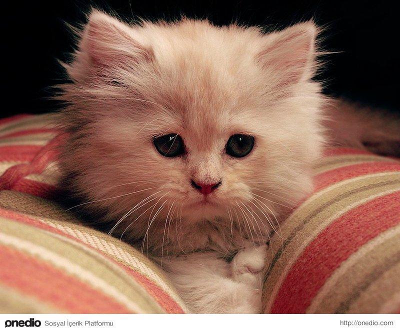 Kediler Hakkında Herşey Onediocom