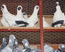 21 Güvercine 38 Yıl Hapis
