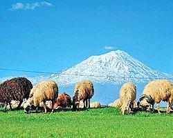 Çobanlar Artık Sürü Yöneticisi