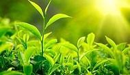 Güçlü Hafıza İçin Yeşil Çay İçin
