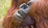 İşaret Dili Öğrenen Orangutan Chantek