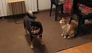 Köpeklere Sataşan 10 Cesur Kedi Gifi