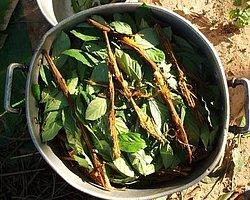 Ayahuasca Çayının Sırrı