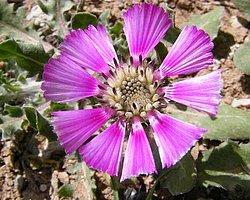 'Sevgi Çiçeği'ni Kuraklık Vurdu