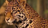 Jaguarın Rakipsiz Bir Avcı Olduğuna Dair 10 Gerçek