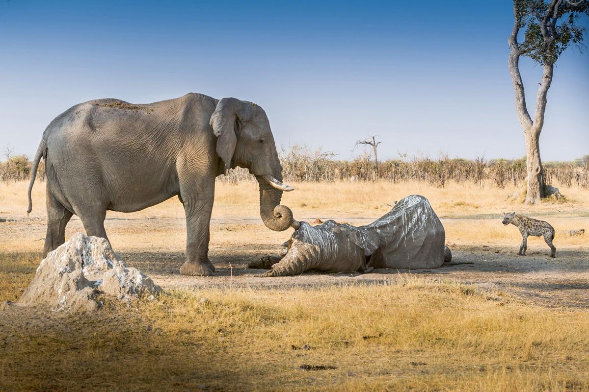 Слоны — единственные животные, у которых есть ритуал захоронения