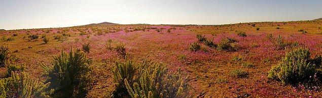 17. Çiçek açan çöl, Atacama, Şili: Yılda ortalama 12 mm yağış alan bu çöle aşırı yağış düştüğü yıllarda oluşan görüntü.