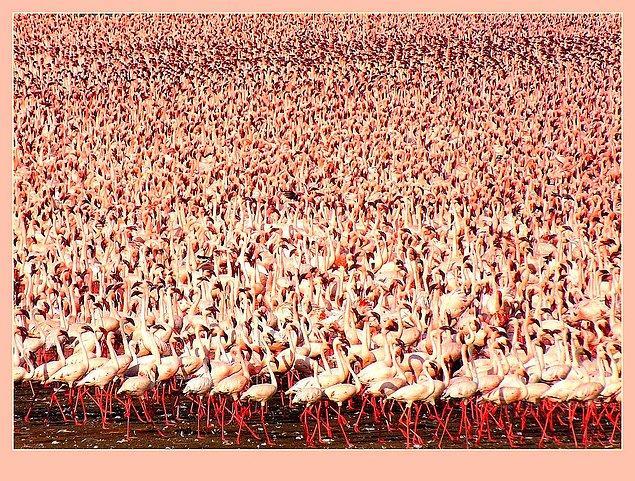 Ağır metal zehirlenmesinden dolayı flamingo nüfusu hızla azalıyor