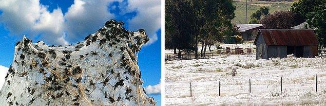 7. Sürreal örümcek ağları: Avustralya'nın Wagga Wagga bölgesinde sel sularından kaçan binlerce örümcek çok büyük bir alanı ağlarla kaplamaktadır.