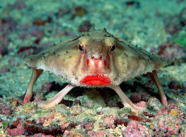 2. Kırmızı Dudaklı Yarasa Balığı
