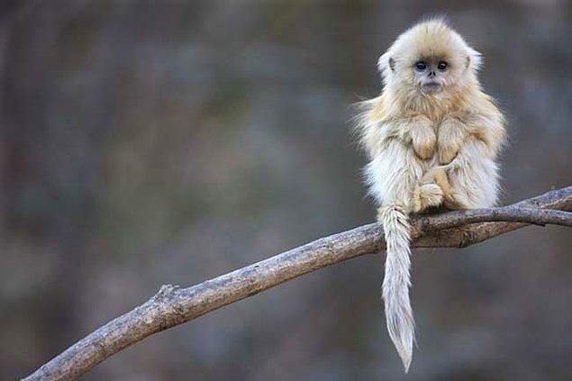 17. Kalkık Burunlu Maymun