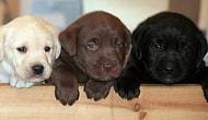 15 Maddede Labrador Retriever