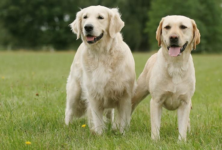 15 Maddede Labrador Retriever Onediocom