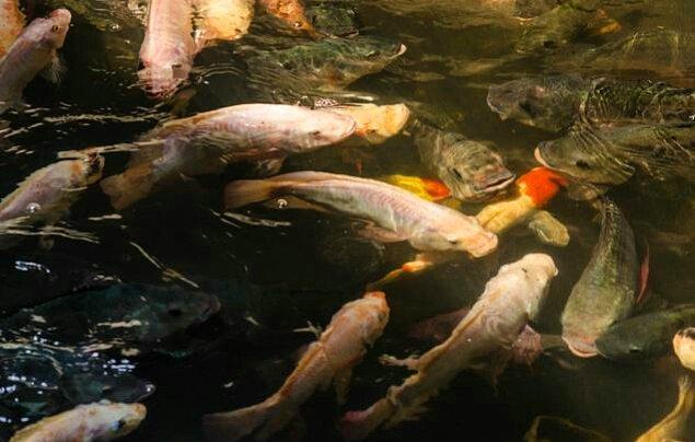 Koi balıkları pis suya rağmen gayet güzel bir şekilde hayatta kalıyorlar