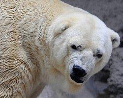 Arjantin'deki Kutup Ayısı Arturo, 40 Derece Sıcaklıkta Yaşam Mücadelesi Veriyor