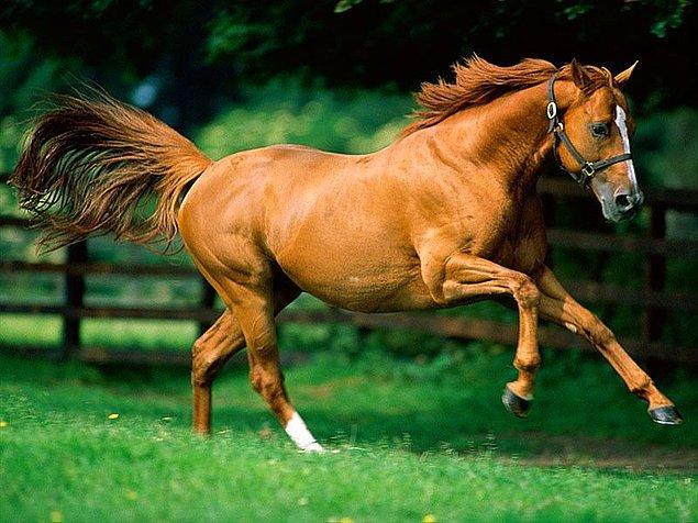 Atlarda insanlardan 18 tane fazla kemik vardır