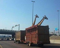 Zürafayı Üstü Açık Kamyonla Taşıdılar, Kafasını Köprüye Vurup Hayatını Kaybetti