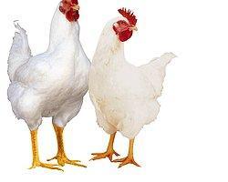 Genetiği Değiştirilmiş Tavuk Var mıdır?