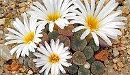 Sizi Şaşırtacak 15 Çiçek Açan Taş