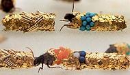 Caddishfly Larvasının Süslü 26 Evi