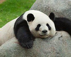 Pandalar Yemek İçin Hamile Taklidi Yapıyormuş...