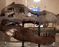 En Büyük Dinozorun Kafatası Nasıldı?