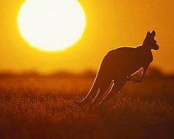 Kangurular 30 Bin Yıl Önce Yürüyordu