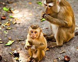 Bilim insanları maymunları eğitimden geçirerek toplama işlemi yapmayı öğretti.