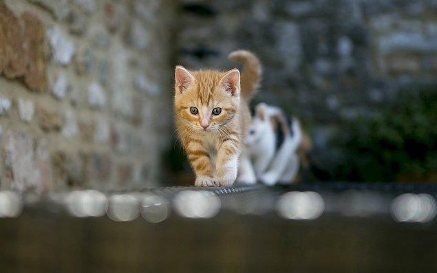 6. Yavru kediler saatte 50 kilometre hızla koşabilir ve kendi boylarının 3 katı uzağa atlayabilirler.