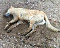 Bodrum'da Köpek Katliamı Devam Ediyor