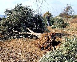 Yırca'da 6 Bin Ağacı Söken Kolin'in Patronuna Göre, Tepkiler 'Doğalgaz Lobisi'nin İşi