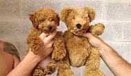Tıpkı Bir Oyuncak Ayıyı Andıran, Aşırı Tatlı 17 Yavru Köpek