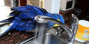 Duş Alması İçin Başkasının Yardımına İhtiyaç Duymayan Zeki Papağan