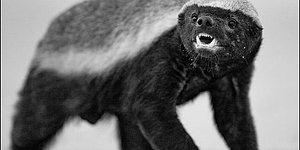 Bilinmeyen Yönleriyle Hayvanlar Aleminde 'Manyağın Oğlu' Olarak İsim Yapmış Bal Porsuğu
