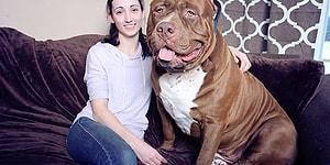 80 Kiloluk Ağırlığıyla, Dünyanın En Büyük Köpeği Olan Hulk'ın Öyküsü