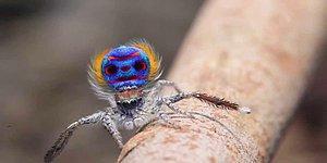 Dişisini Etkilemek İçin Çiftleşme Dansı Yapan Örümcek