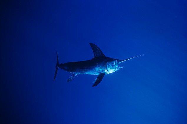 4. Kılıç Balığı !