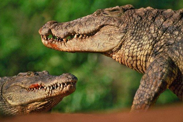 7. Alligator (Sıcak İklim Timsahı)