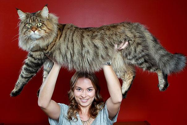 20 of the biggest pet cats ever bored panda - Biggest Cat In The World Guinness 2014