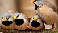 Çok hareketli ve kavgacı İspinoz kuşu