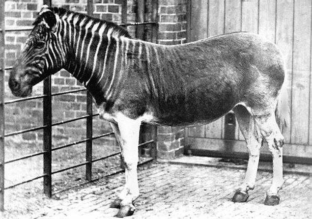 14. Güney Afrika Zebrası