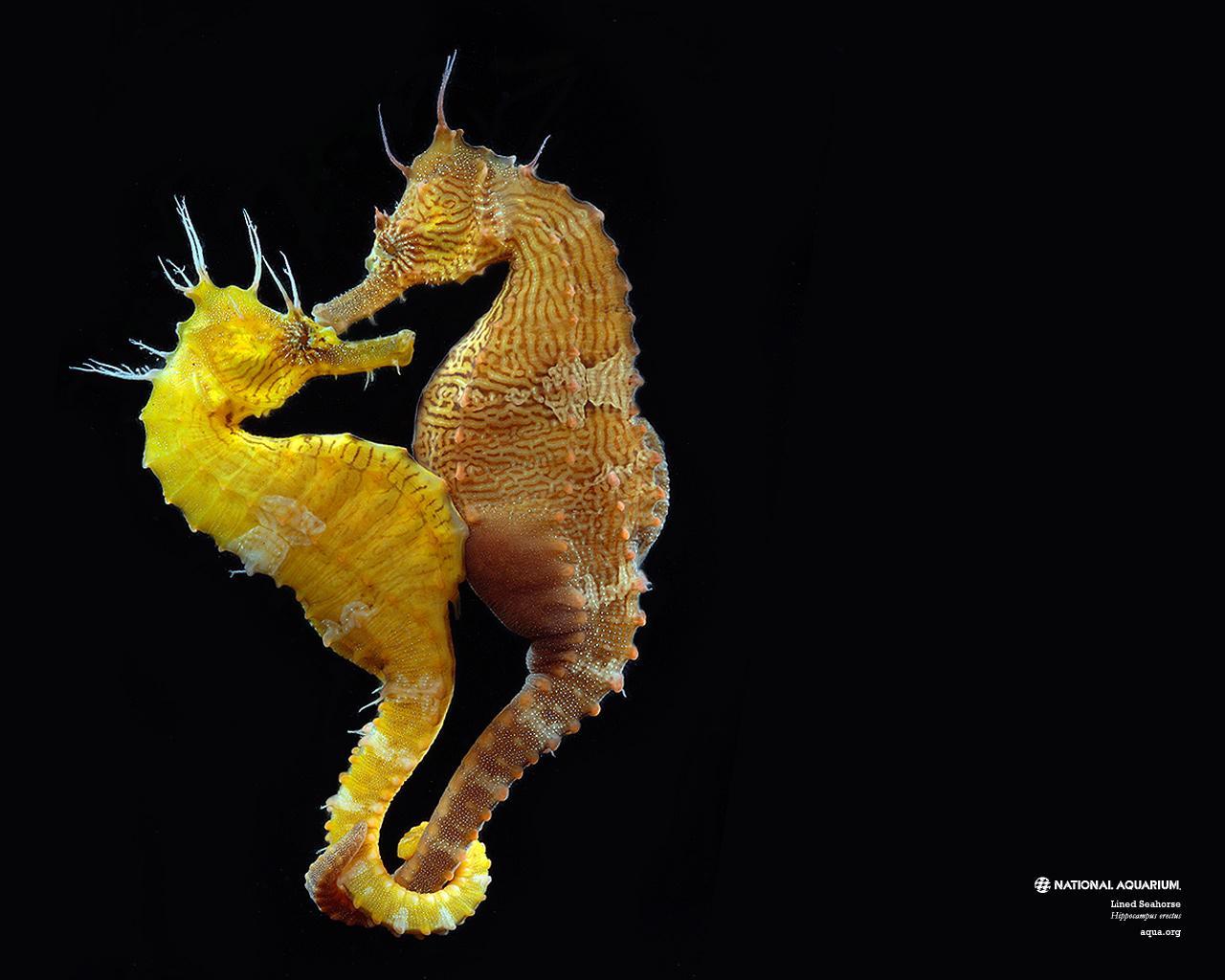 D nyan n en lgin hayvanlar ndan denizat hakk nda for Immagini di cavalluccio marino