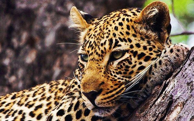 Çita!