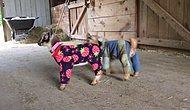 Pijama İçinde Aşırı Sevimli Gözüken Yavru Keçiler